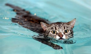 Cat Swimming