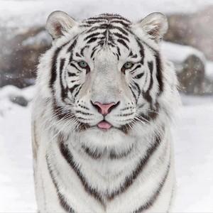 white hổ