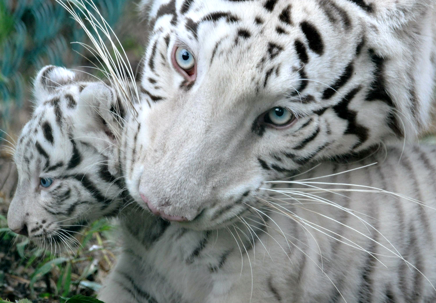 White Tiger Images White Tigers Hd Wallpaper And Background Photos