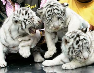 white बाघों