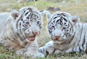 white tigres