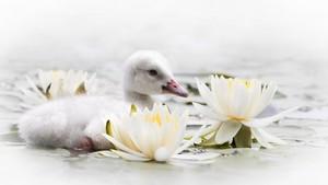 Baby cisne
