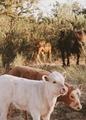 Cows - animals photo