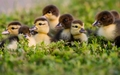 Ducklings - animals wallpaper