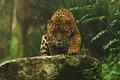 Jaguar - animals photo