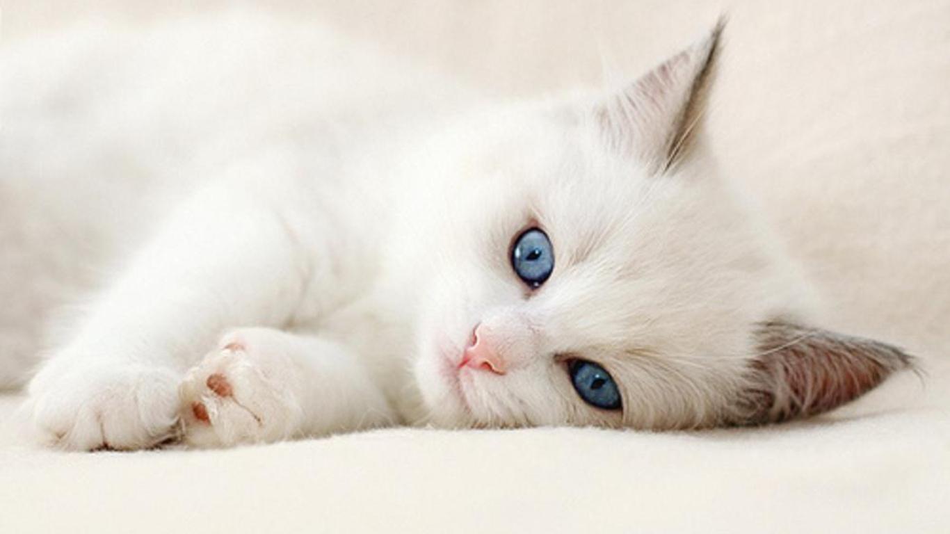 壁纸 动物 猫 猫咪 小猫 桌面 1366_768