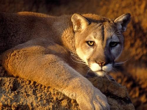 Cougar/Puma Hintergrund titled Puma