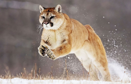 Cougar/Puma hình nền entitled Puma