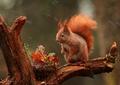 Squirrel - animals photo