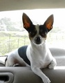 SuperPhoto 170408125700 - chihuahuas photo