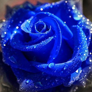 True Blue - A Blue Rose For 你