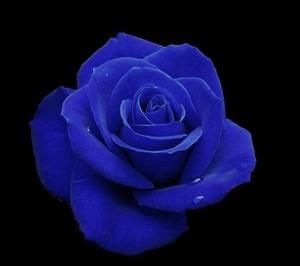 True Blue - A Blue Rose For toi