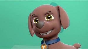 Zuma, the Labrador