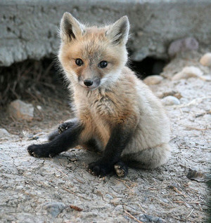 baby zorro, fox