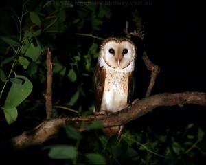 schuur owl