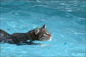 Cat Going Swimming