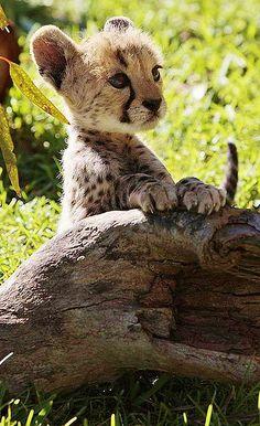 cheetah images cute cheetah cub wallpaper and background photos
