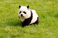 40 Fluffy Pictures of cachorritos that Looks like pandas 3
