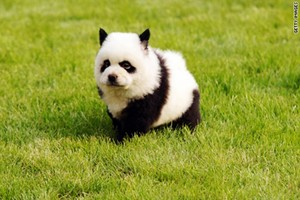 40 Fluffy Pictures of Puppies that Looks like Pandas 3