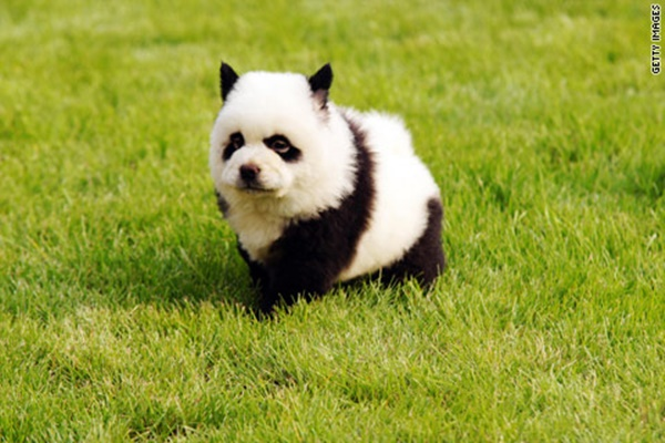 40 Fluffy Pictures of Welpen that Looks like Pandas 3