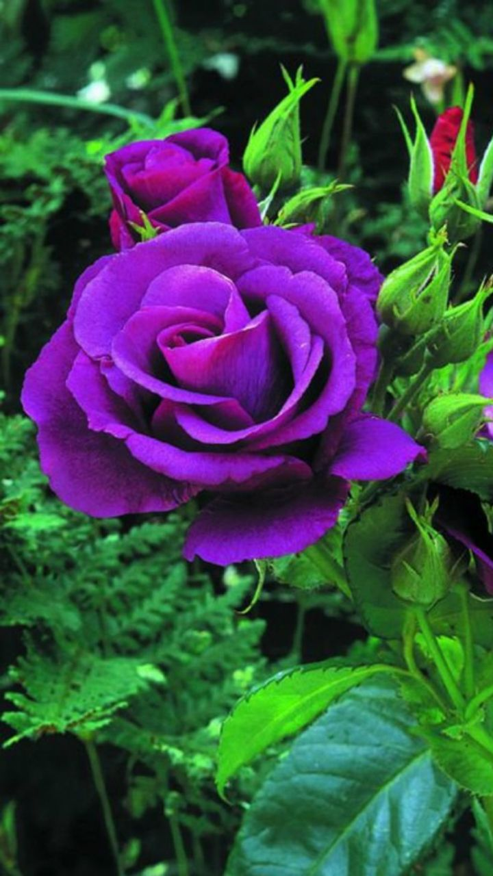 Purple Colour Rose Flowers Images Flowers Healthy