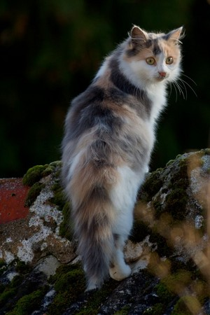 Beautiful Calico Kitty