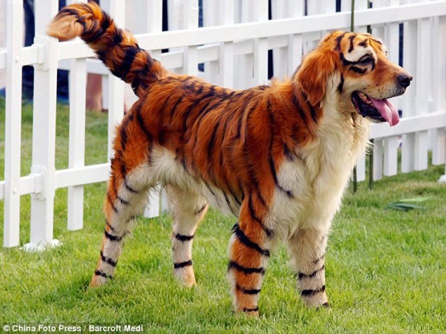 China bengal tiger dog 2010 889x665
