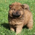 Chow Chow Puppies For Sale 600x600 - puppies photo