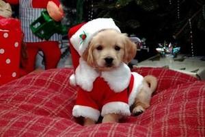 크리스마스 themed 강아지 pics