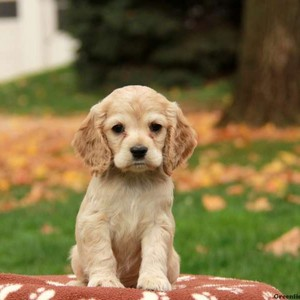 Cocker spaniel anak anjing For Sale 600x600