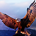 Eagle - animals icon