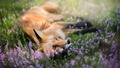 Fox - animals wallpaper