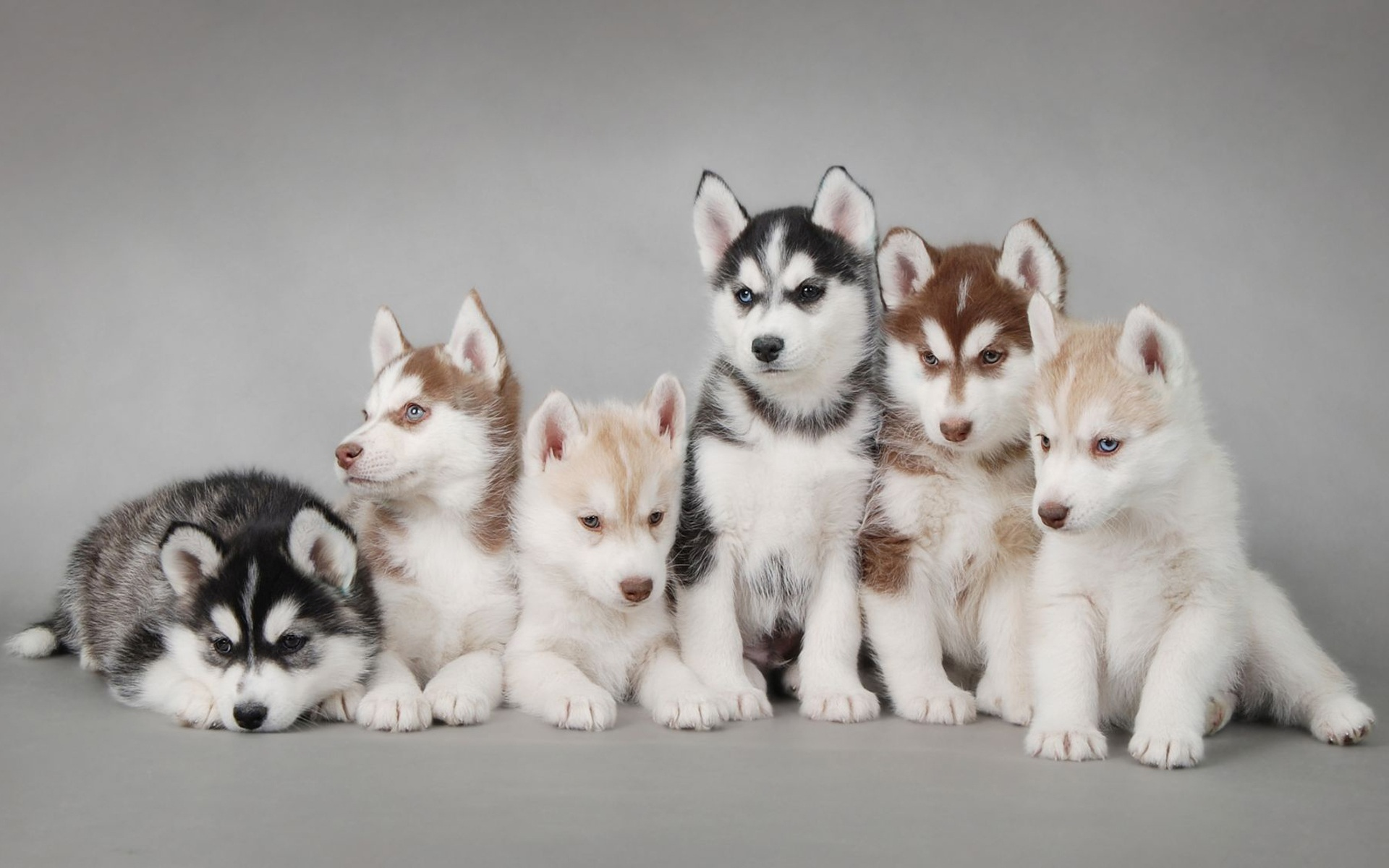 Siberian Huskies Images HD Wallpaper And Background Photos