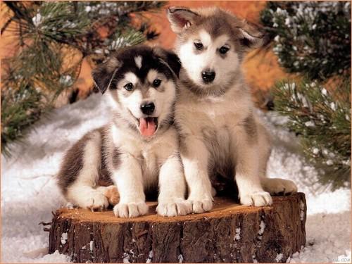 Siberian Huskies wallpaper called Huskies