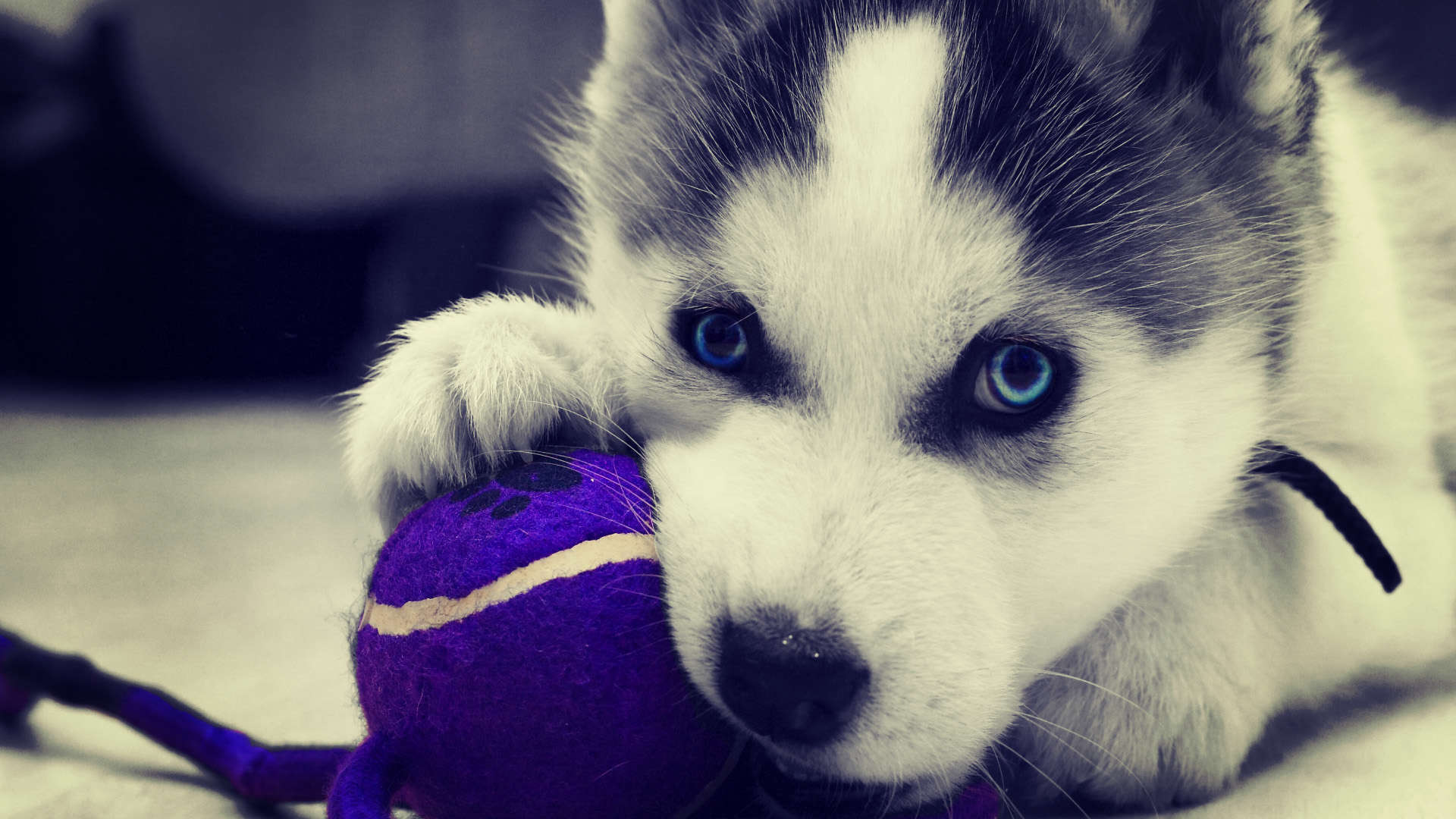 Siberian Huskies Images Husky Hd Wallpaper And Background Photos