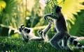 Lemurs - animals wallpaper