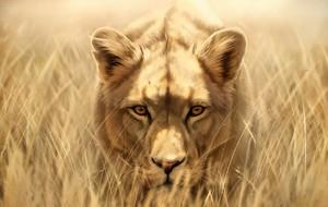 sư tử cái, lioness