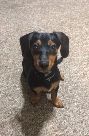 My lil Doxie, Axel!