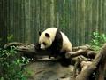 Panda - animals wallpaper