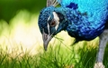 Peacock - animals wallpaper