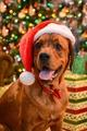 Santa dogs - dogs photo