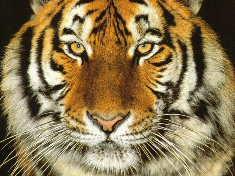 Big Cats Images Siberian Tiger Hd Wallpaper And Background Photos
