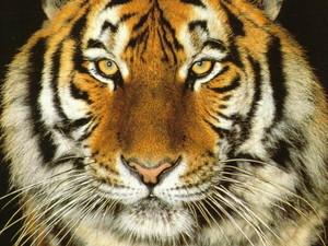 Siberian Tiger