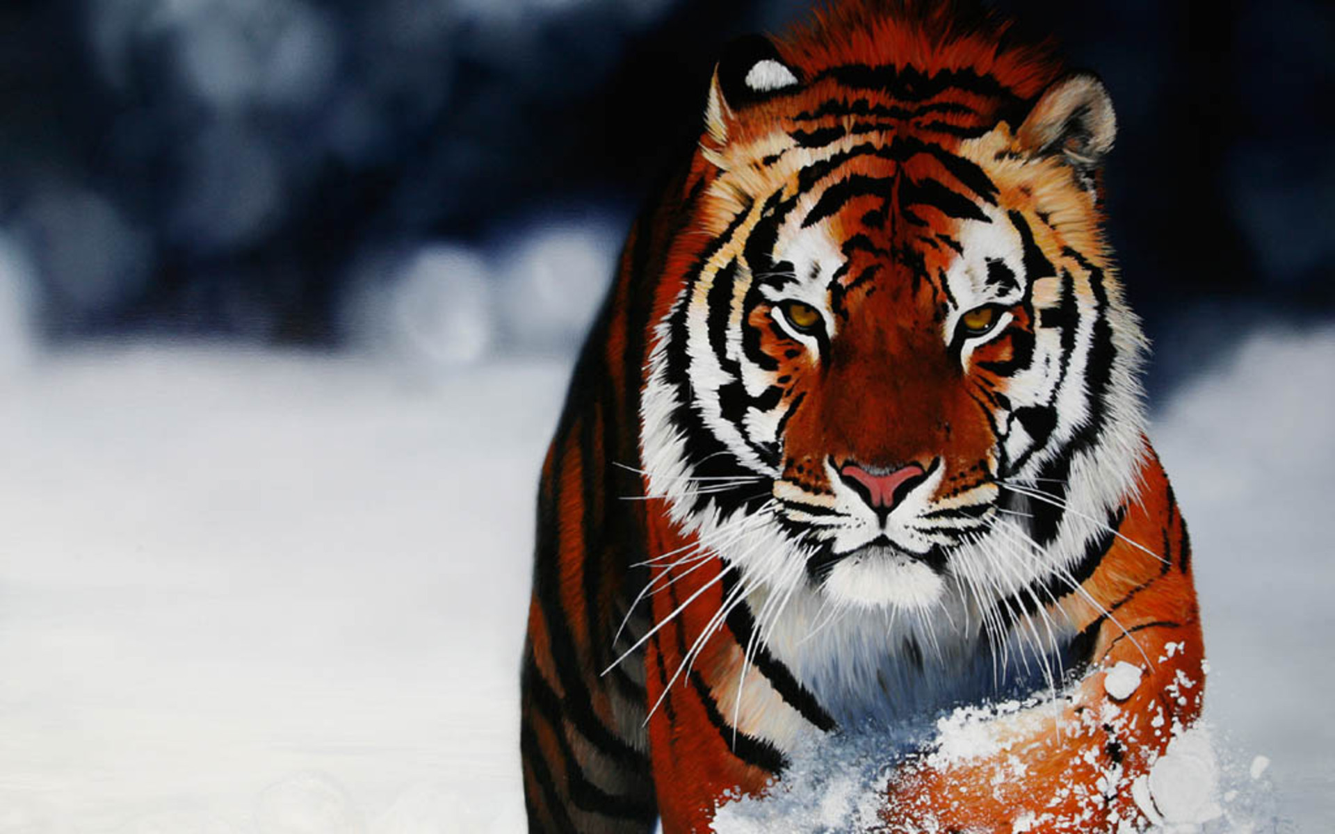 Tigers Images Siberian Tiger Hd Wallpaper And Background Photos