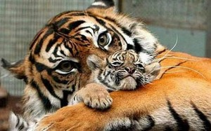 Siberian tigres
