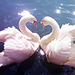 Swan - animals icon