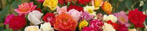 Variety Of rosas