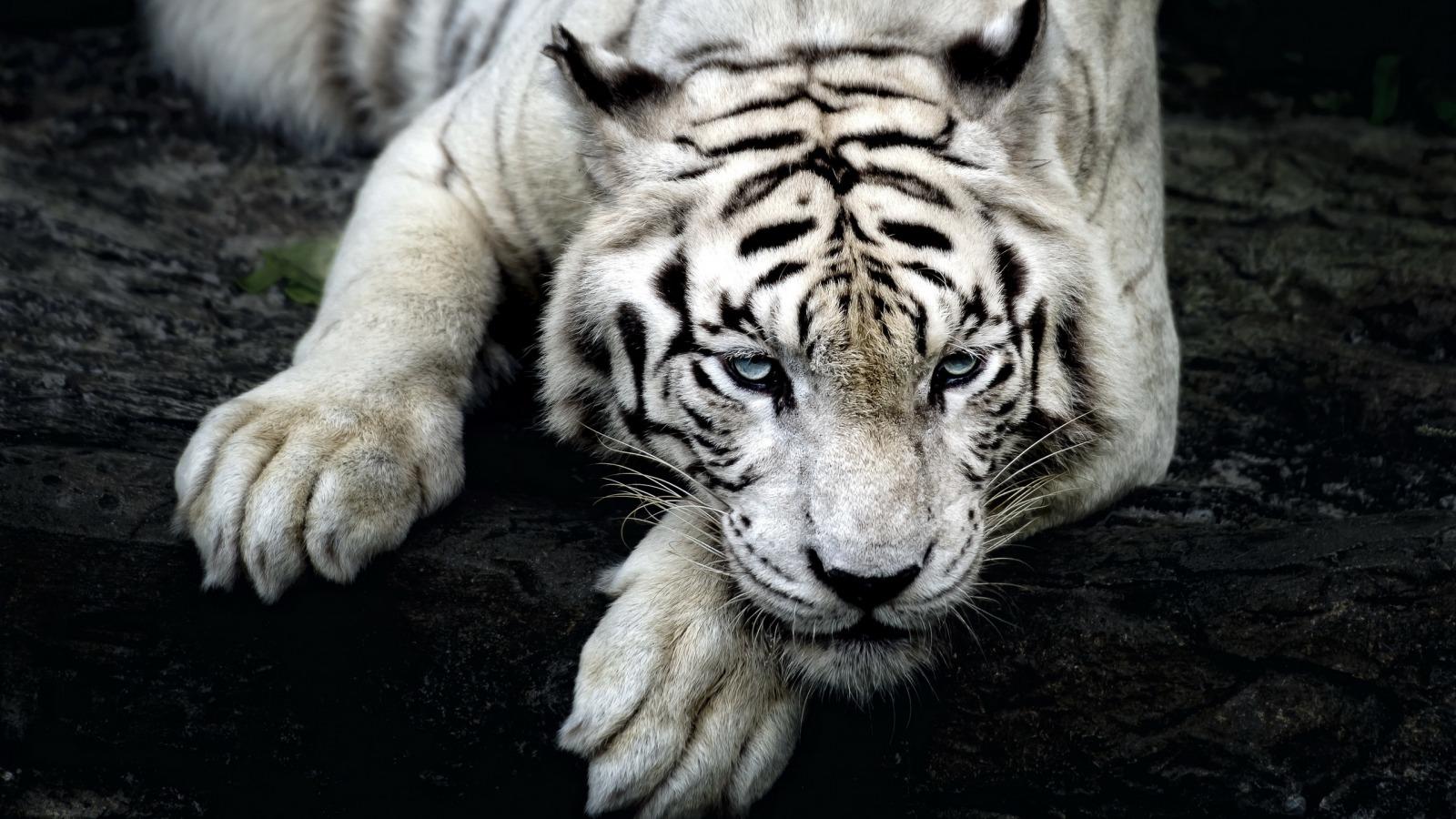 壁纸 动物 虎 老虎 桌面 1600_900
