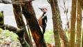 Woodpecker - animals wallpaper