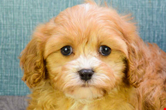 cavapoo Welpen for sale in ohio 636322510101784553